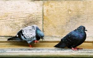 dove-in-love-1310131-639x400